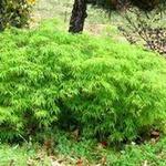 Acer palmatum Dissectum (foto: arhiv Nataša Lotrič)