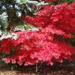 Acer palmatum Fireglow (foto: arhiv Nataša Lotrič)