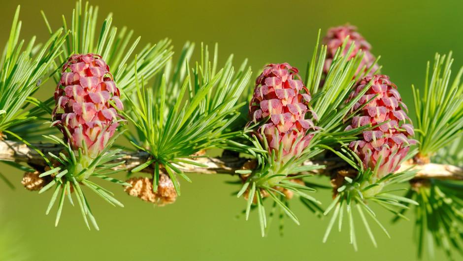 Macesen – cvet samozaupanja (foto: Shutterstock)