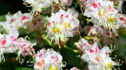 Beli kostanj - cvet mišljenja