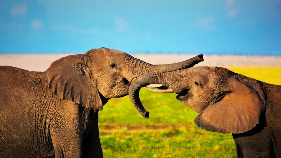 Ko je slon ugotovil, da ga poskušajo rešiti, se je zjokal (foto: Profimedia)