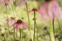 roze-travnik