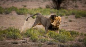Video: Cirkuški lev prvič občuti travo