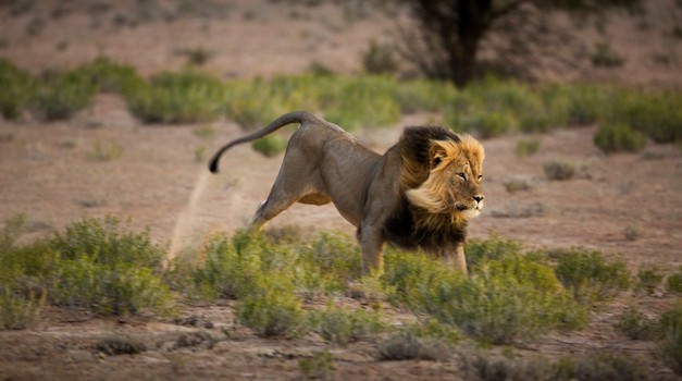 Video: Cirkuški lev prvič občuti travo (foto: profimedia)