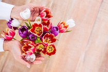 roze-tulipani-cvetje