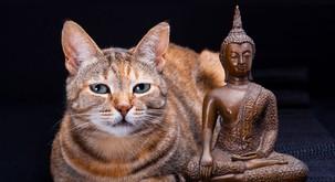 Mačka - vaš najboljši budistični mojster