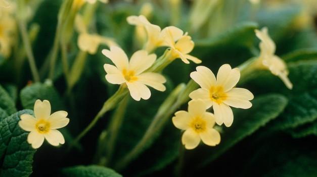 Kako nam lahko pomagajo prve cvetlice pomladi