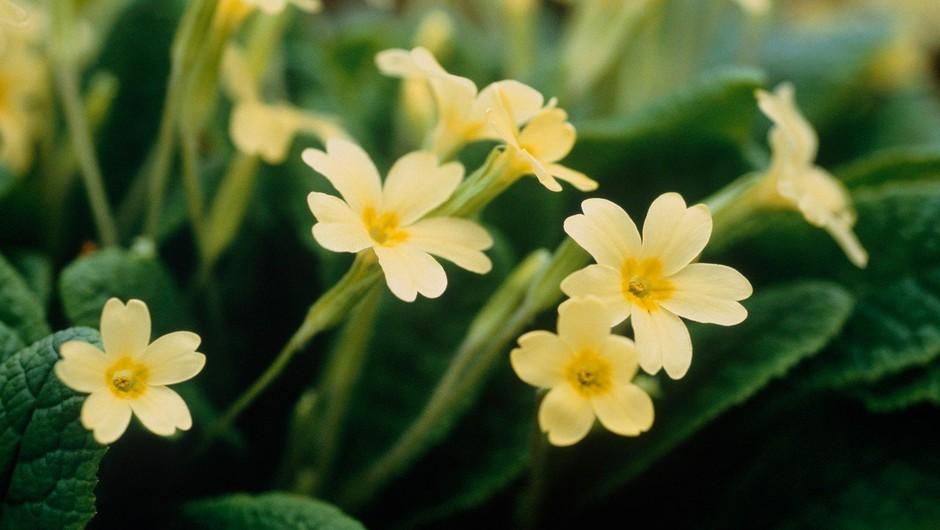 Kako nam lahko pomagajo prve cvetlice pomladi (foto: profimedia)