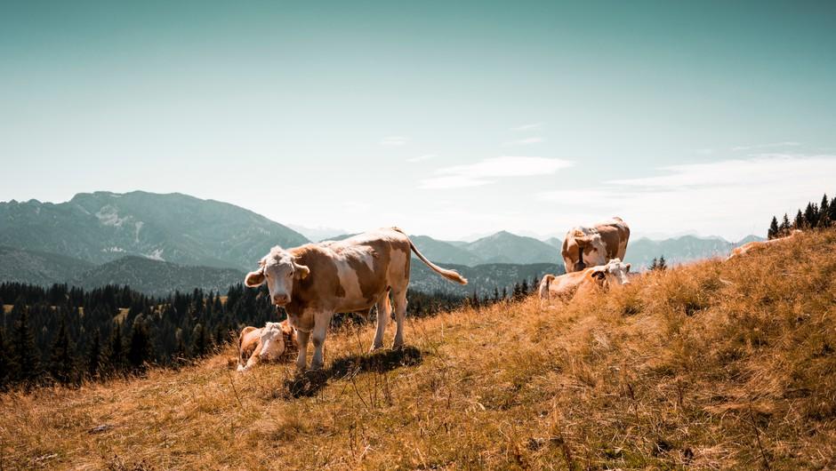 Ali govedo sanja o travniku, gozdu, njivi in planinah, ki jih ne pozna? (foto: Unsplash.com)
