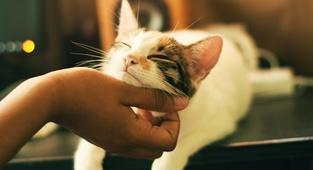 Mačje predenje je zdravilno za človeka