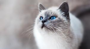 Mačka si izbere lastnika glede na njegovo energijo