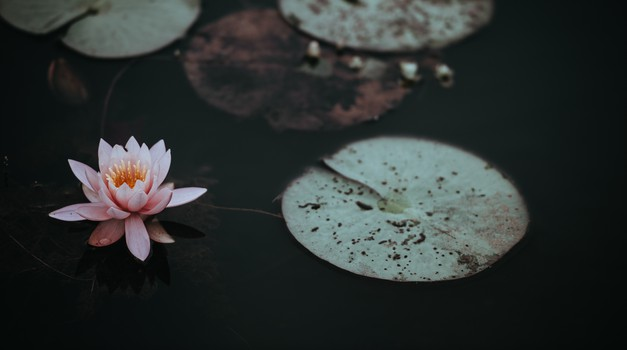 Sporočilo za današnji dan: Lotos raste iz blata (foto: unsplash)