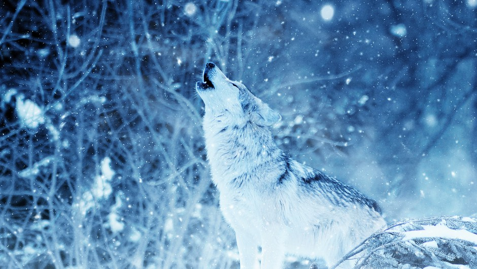 Bodite pogumen volk samotar! (foto: pixabay)