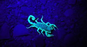 Temna plat škorpijona, ki pride včasih na plano