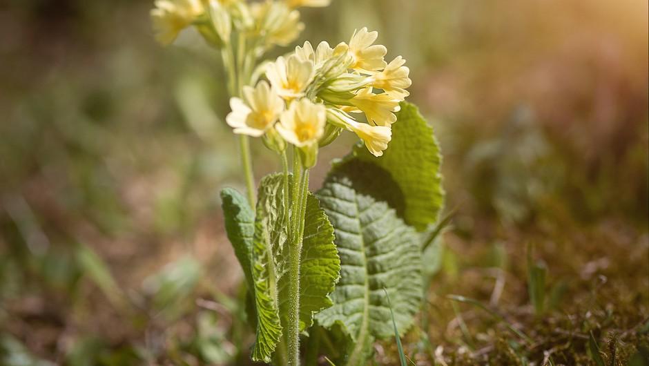 5 cvetlic pomladi, ki jih že lahko naberete za čaj (foto: pixabay)