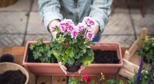 PELARGONIJA: nasveti, kako pripraviti korita, da bodo cvetlice čudovite