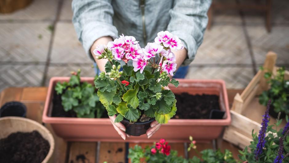 PELARGONIJA: nasveti, kako pripraviti korita, da bodo cvetlice čudovite (foto: shutterstock)