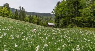 Ideja za eko izlet: Na Golico med cvetoče NARCISE